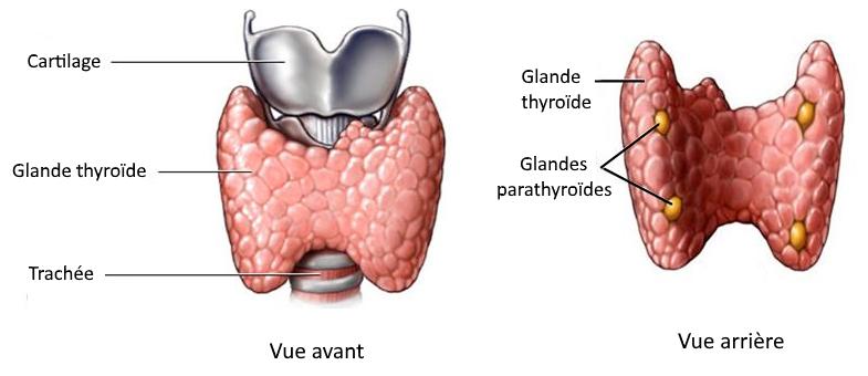 Vue devant et derrière de la thyroide